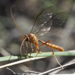 Ichneumonidae sp. (family) (Unidentified ichneumon wasp) at Black Mountain - 30 Aug 2020 by David