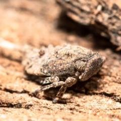 Platybrachys sp. (genus) (A gum hopper) at Umbagong District Park - 31 Aug 2020 by Roger