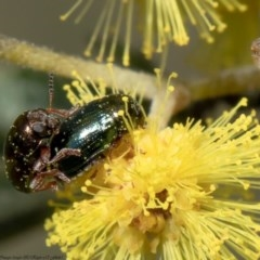 Ditropidus sp. (genus) (Leaf beetle) at Umbagong District Park - 31 Aug 2020 by Roger