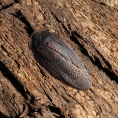 Laxta granicollis (Common trilobite cockroach, bark cockroach) at Umbagong District Park - 31 Aug 2020 by Roger
