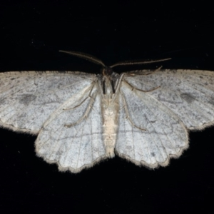 Ectropis excursaria at Ainslie, ACT - 30 Aug 2020