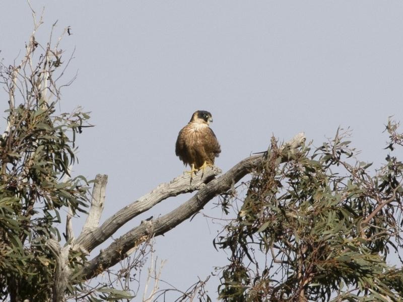 Falco longipennis at Michelago, NSW - 15 Jun 2020