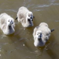 Cygnus atratus (Black Swan) at Lake Ginninderra - 31 Aug 2020 by Alison Milton