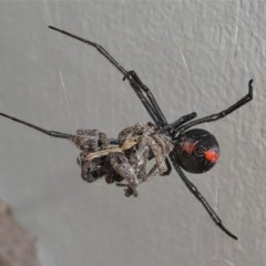 Latrodectus hasselti (Redback Spider) at Kambah, ACT - 30 Aug 2020 by HarveyPerkins
