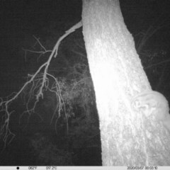 Petaurus norfolcensis (Squirrel Glider) at Albury - 6 Mar 2020 by DMeco