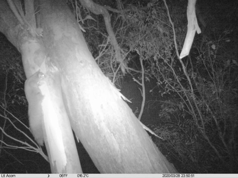 Petaurus norfolcensis at Albury - 28 Mar 2020