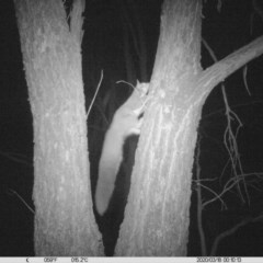 Petaurus norfolcensis (Squirrel Glider) at National Environment Centre (Riverina Institute of Tafe) - 17 Mar 2020 by DMeco
