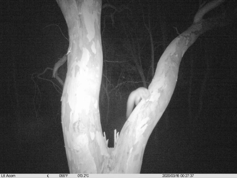 Petaurus norfolcensis at Bowna Reserve - 16 Mar 2020