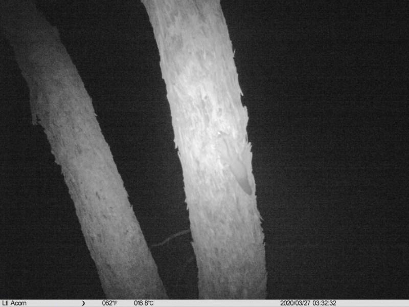 Petaurus norfolcensis at Budginigi - 27 Mar 2020