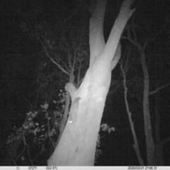Petaurus norfolcensis (Squirrel Glider) at Albury - 21 Mar 2020 by DMeco