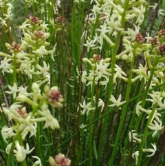 Stackhousia monogyna (Creamy Candles) at Nail Can Hill - 15 Aug 2020 by ClaireSee