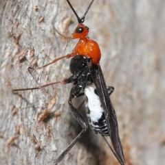 Braconidae sp. (family) (Unidentified braconid wasp) at ANBG - 28 Aug 2020 by TimL