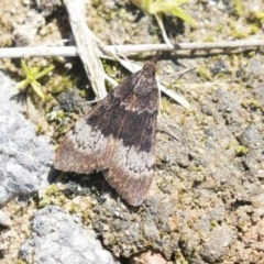 Uresiphita ornithopteralis (Tree Lucerne Moth) at Belconnen, ACT - 31 Aug 2020 by AlisonMilton