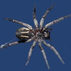 Venatrix sp. (genus) (Unidentified Venatrix wolf spider) at Evatt, ACT - 31 Aug 2020 by TimL