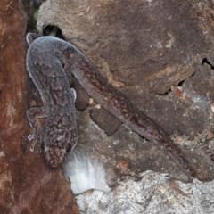 Christinus marmoratus (Southern Marbled Gecko) at Majura, ACT - 31 Aug 2020 by jbromilow50
