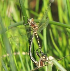 Synthemis eustalacta (Swamp Tigertail) at Rob Roy Range - 31 Mar 2020 by michaelb