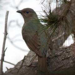 Ptilonorhynchus violaceus (Satin Bowerbird) at Rossi, NSW - 1 Sep 2020 by SthTallagandaSurvey