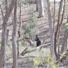 Wallabia bicolor (Swamp Wallaby) at Black Mountain - 1 Sep 2020 by ConBoekel