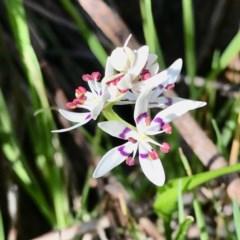 Wurmbea dioica subsp. dioica (Early Nancy) at Wodonga - 1 Sep 2020 by Kayjay
