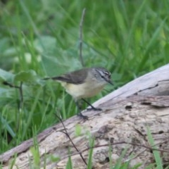 Acanthiza chrysorrhoa (Yellow-rumped Thornbill) at Red Light Hill Reserve - 29 Aug 2020 by PaulF