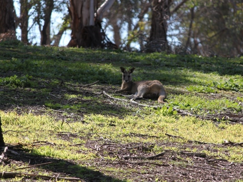 Macropus giganteus at Red Light Hill Reserve - 29 Aug 2020