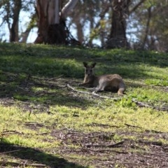 Macropus giganteus (Eastern Grey Kangaroo) at Red Light Hill Reserve - 29 Aug 2020 by PaulF