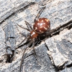 Steatoda capensis (South African cupboard spider) at ANBG - 1 Sep 2020 by Roger