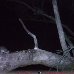 Pseudocheirus peregrinus (Common Ringtail Possum) at Rob Roy Range - 31 Aug 2020 by ChrisHolder