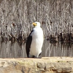 Microcarbo melanoleucos (Little Pied Cormorant) at Commonwealth & Kings Parks - 29 Aug 2020 by JanetRussell