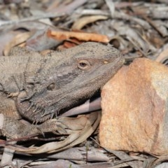 Pogona barbata (Eastern Bearded Dragon) at ANBG - 1 Sep 2020 by Tim L