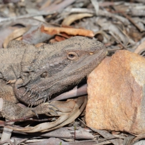 Pogona barbata at ANBG - 1 Sep 2020
