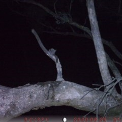 Petaurus breviceps (Sugar Glider) at Rob Roy Range - 1 Sep 2020 by ChrisHolder