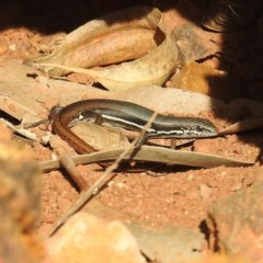 Morethia boulengeri (Boulenger's Skink) at ANBG - 1 Sep 2020 by HelenCross
