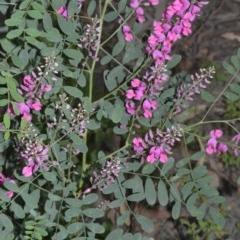 Indigofera australis subsp. australis (Austral Indigo) at Bundanon Trust - 31 Aug 2020 by plants