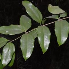 Ripogonum album (Supplejack) at Bundanon Trust - 31 Aug 2020 by plants