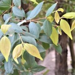 Rhodamnia rubescens (Scrub turpentine, Brown malletwood) at Bundanon Trust - 31 Aug 2020 by plants