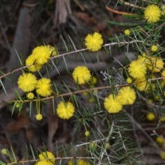 Acacia brownii (Heath Wattle) at Bamarang Nature Reserve - 31 Aug 2020 by plants