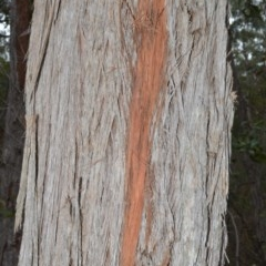 Eucalyptus globoidea (White Stringybark) at Bamarang Nature Reserve - 31 Aug 2020 by plants