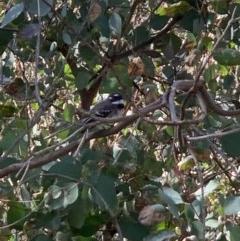 Rhipidura albiscapa (Grey Fantail) at Flea Bog Flat, Bruce - 1 Sep 2020 by JVR