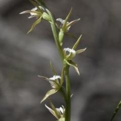 Prasophyllum sp. aff. patens (Alabaster Leek Orchid) at Wee Jasper, NSW - 4 Sep 2020 by JudithRoach