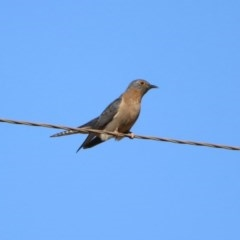 Cacomantis flabelliformis (Fan-tailed Cuckoo) at Tidbinbilla Nature Reserve - 31 Aug 2020 by RodDeb