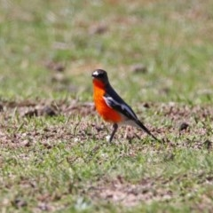 Petroica phoenicea (Flame Robin) at Tidbinbilla Nature Reserve - 31 Aug 2020 by RodDeb