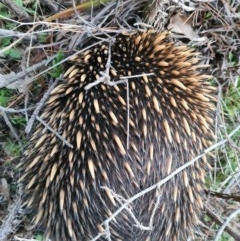 Tachyglossus aculeatus (Short-beaked Echidna) at Molonglo, ACT - 1 Sep 2020 by AaronClausen