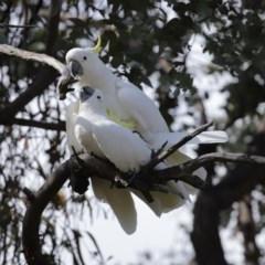 Cacatua galerita (Sulphur-crested Cockatoo) at Tidbinbilla Nature Reserve - 31 Aug 2020 by RodDeb