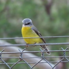 Eopsaltria australis (Eastern Yellow Robin) at Tidbinbilla Nature Reserve - 31 Aug 2020 by RodDeb