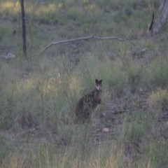 Wallabia bicolor (Swamp Wallaby) at Aranda Bushland - 2 Sep 2020 by dwise