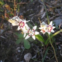 Wurmbea dioica subsp. dioica (Early Nancy) at Mount Painter - 2 Sep 2020 by dwise