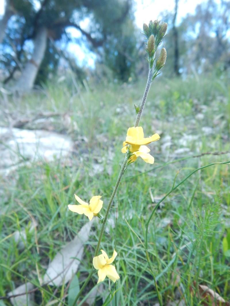 Goodenia bellidifolia subsp. bellidifolia at Meroo National Park - 2 Sep 2020
