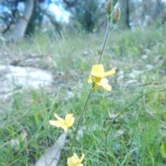 Goodenia bellidifolia subsp. bellidifolia (Daisy Goodenia) at Meroo National Park - 2 Sep 2020 by GLemann