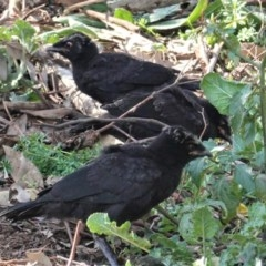 Corcorax melanorhamphos (White-winged Chough) at Red Hill Nature Reserve - 2 Sep 2020 by JackyF